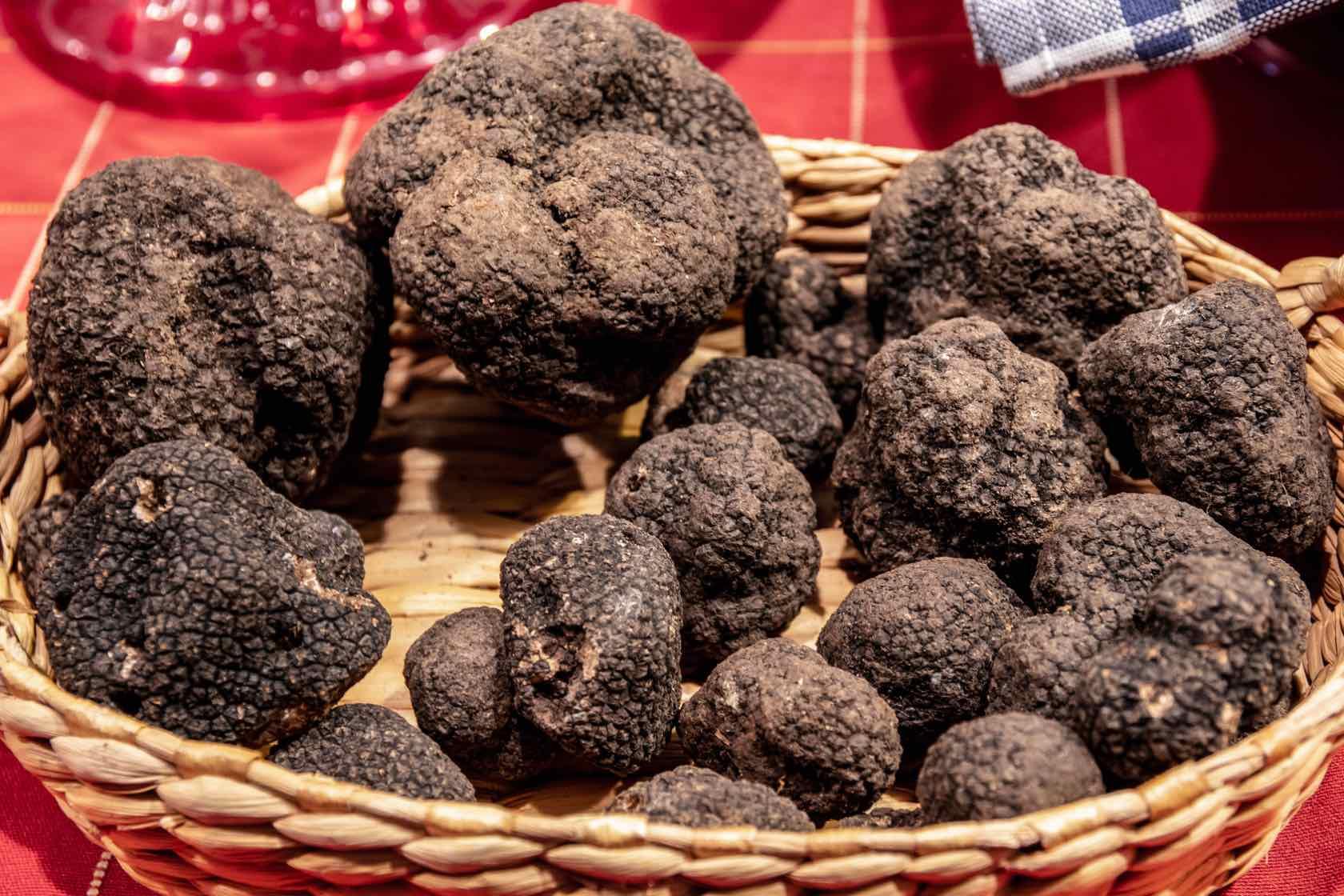 black truffles harvest in tuscany